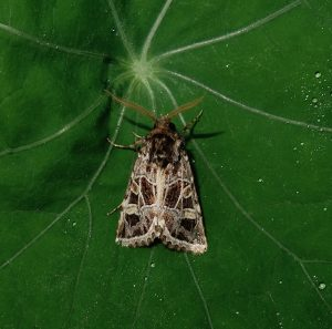 A photo of a beautiful gothic moth