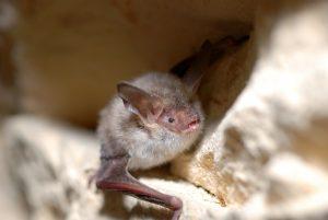 A photo of a Bechstein's Bat