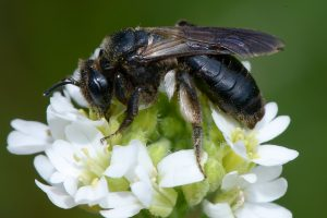 A photo of a black mining bee