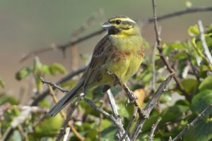 A photo of a Cirl Bunting