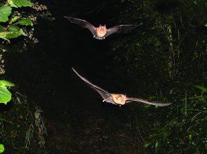 A photo of a Greater Horseshoe bats