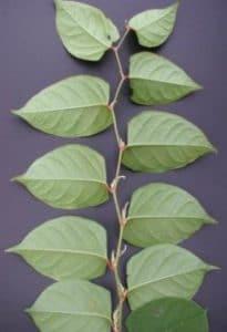 zig zag stems with alternating leaves