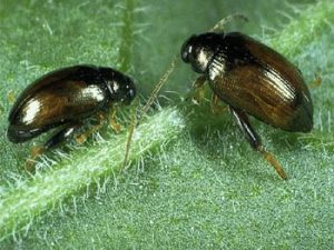 A photo of a Lundy Cabbage field beetle