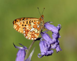 A photo of a pearl bordered fritillary