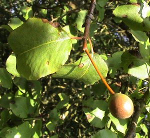 A photo of plymouth pear