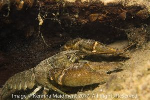 A photo of a white clawed crayfish