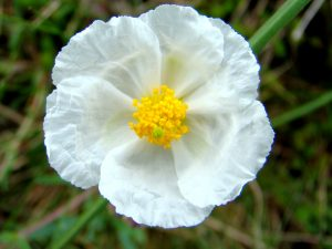 A photo of White Rock Rose