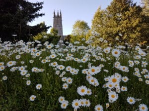 Oxeye daisies in front of a church in Devon