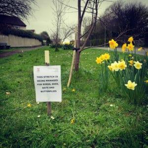 Daffodils in a community wildlife area
