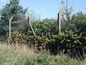 Japanese knotweed growing up a fence in Plymouth
