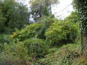 Japanese knotweed original stand at Bicton gardens