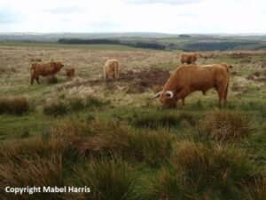 Brown cows grazing in a field
