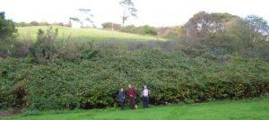 Original knotweed stand at Lee, Devon