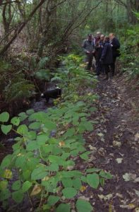 Knotweed growing along a river