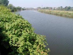 Japanese knotweed by watercourse