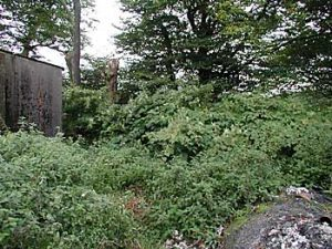 Japanese knotweed growing around a building