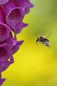 A bee flying towards a foxglove flower