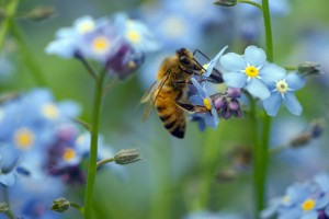 A bee sitting on a forget-me-not flower