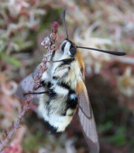 Narrow bordered bee hawk moth