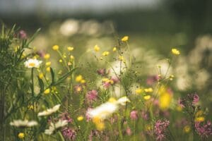Daisies, buttercups and flowers in a meadow